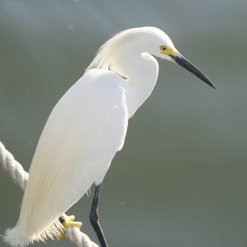 Snowy Egret Lighthouse 005