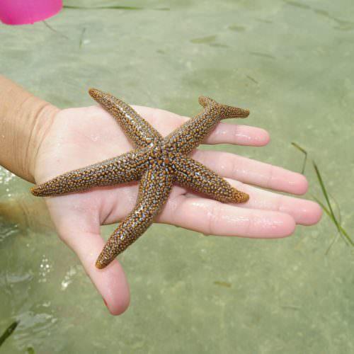 sea_star